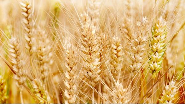 农业农村部:确保冬小麦种植面积保持稳定