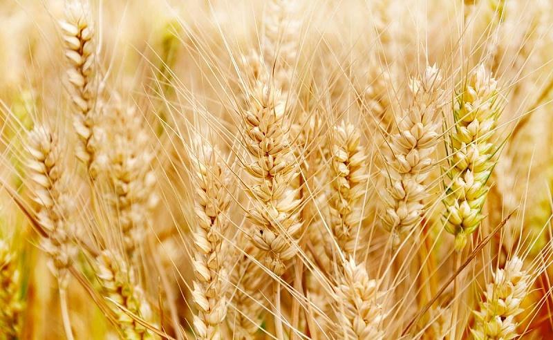 农业农村部:做好小麦秋播拌种,防控小麦病虫害