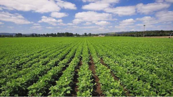 我国脱皮绿豆原料种植区域分布情况如何?
