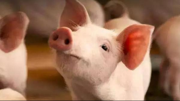 """农业农村部认为""""制定生猪收购保护价政策""""尚不可行"""
