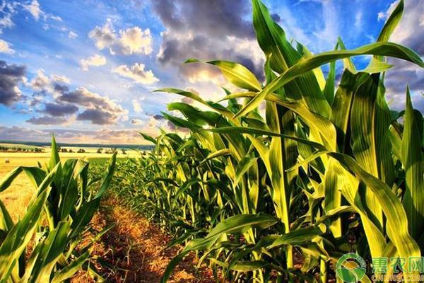 农业农村部:预计全年玉米面积增加超1000万亩