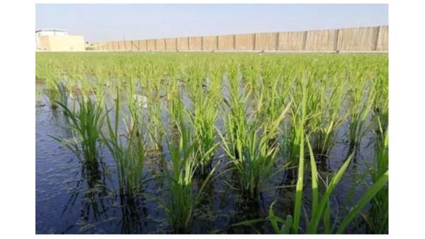 海水稻全国联合插秧活动于各地举行
