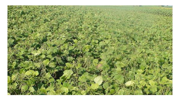 我国绿豆种植与出口现状