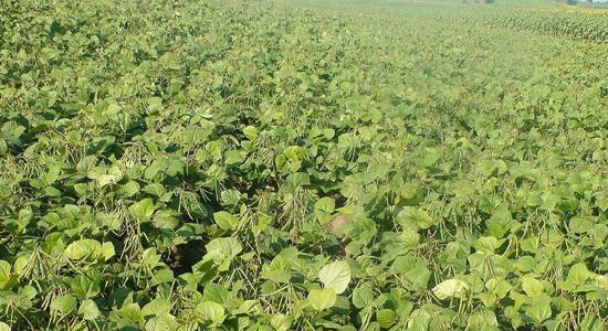 中国绿豆产业