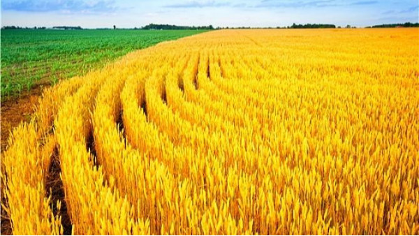 农业农村部:全国小麦收成进度过六成