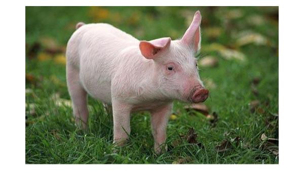 生猪养殖补偿方案将加快出台