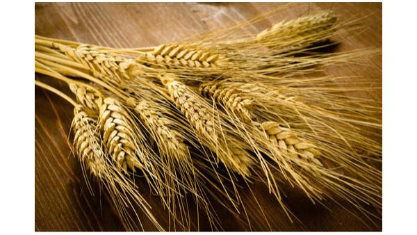 农业农村部:坚决遏制小麦条锈病危害