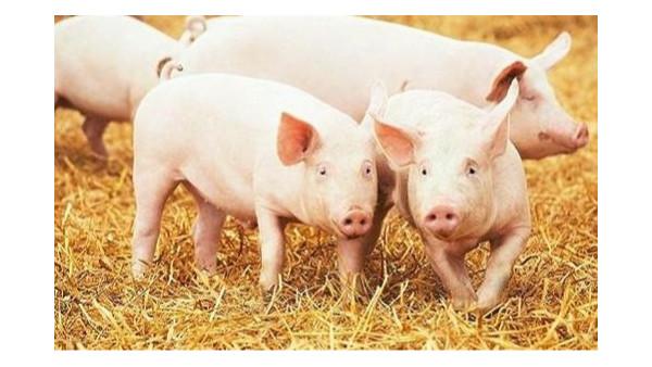 农业农村部加快恢复生猪生产