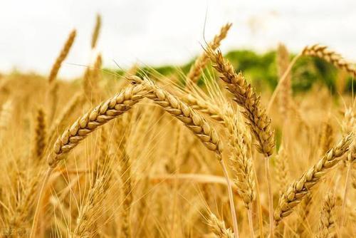 农业农村部:确保夏季粮食安全成熟